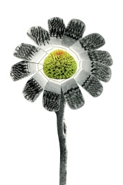 Soldier flower, 4 x 6 inches